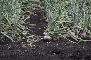 onion field3