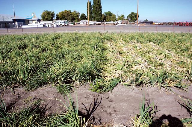 Above-ground symptoms of white rot (right) compared to healthy onions (left).
