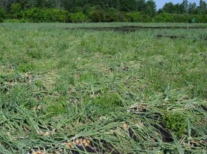 Weeds in onion fields delay onion maturity and reduce yield.